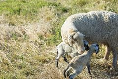 Ewe with two lambs. Ewe with two newborn lambs in the field royalty free stock photos