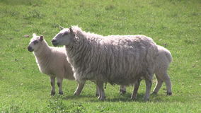 Ewe and two lambs grazing in a field. stock footage