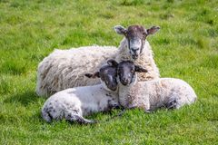 A Ewe and her Babies royalty free stock photo
