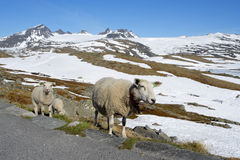 Ewes. At the norwegian mountains Royalty Free Stock Images
