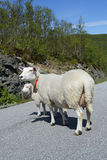 Ewes. Ewe with lamb on a road Stock Photo