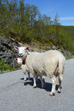 Ewes. Ewe with lamb on a road Royalty Free Stock Photography