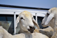 Ewes on a car.  Royalty Free Stock Image