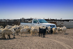 Ewes and the car.  Stock Images