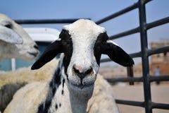 Ewes on a car Stock Photos