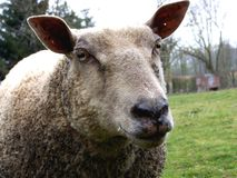 Ewes, close-up on a sheep stock images