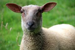 Ewes, close-up of a young ewe stock photo