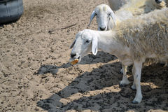 Ewes and crusty bread. Farm on the outskirts of Jeddah Stock Photos