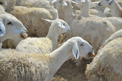 Ewes and dry bread.  Royalty Free Stock Image