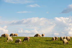 Ewes eating in the field Royalty Free Stock Image