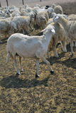 Ewes on a farm.  Royalty Free Stock Photos