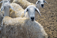 Ewes on a farm Royalty Free Stock Photo