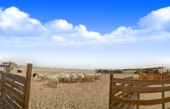 Ewes in the farm with Wooden fence in panoramic vi Stock Image