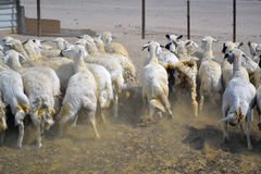 Ewes fugitive.  Royalty Free Stock Image