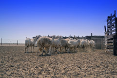 Ewes go Shed Royalty Free Stock Images