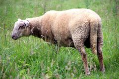 Ewes, a young ewe in his field in summer. Ewes in his pasture in summer, the grass has pushed a profusion royalty free stock images