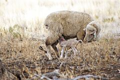 Ewes and lamb in the drought - Australia. A ewe and her newborn lamb in the drought - Australia. It's such a sad sight royalty free stock photography