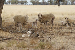 Ewes and lambs in the drought - Australia. A very sad sight to see these new and tiny little lambs.  There is very little food to nourish these animals Royalty Free Stock Photos