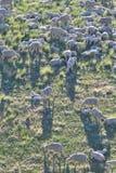 Ewes and Lambs on Montana mountainside Stock Image