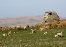 Ewes and lambs in a paddock with a big rock. Stock Photography