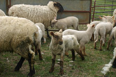 Ewes and lambs in a pen. Ewes and lambs in a metal pen on a field Stock Images
