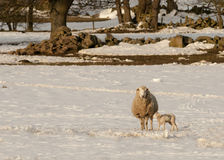 Ewes and lambs in the snow Royalty Free Stock Photography