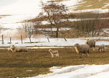 Ewes and lambs in the snow Royalty Free Stock Photos