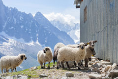 Ewes near from barn in mountains. On sunny day Stock Photo