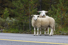 Ewes  on a road. Ewe with lamb on a road Royalty Free Stock Images