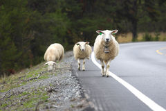 Ewes  on a road. Ewe with lamb on a road Stock Photography
