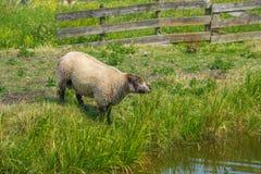 Ewes of shropshire Royalty Free Stock Photo