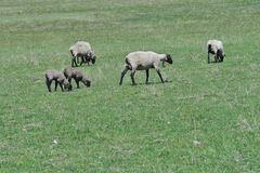 Ewes and spring lambs twins. Four ewes and twin lambs in a spring pasture Royalty Free Stock Image