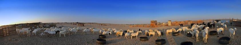 ewes uprawiają ziemię kózki kózka Jeddah Zdjęcie Stock