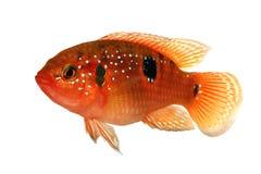 Ewidencyjna kartoteka - imię: Biżuteryjna cichlid Hemichromis bimaculatus akwarium ryba Zdjęcia Stock