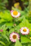 Ewig (Stroh) Blumen Lizenzfreie Stockbilder