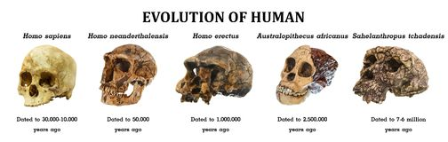 Ewolucja ludzki czaszki Sahelanthropus tchadensis Australopitka africanus Homo Erectus Homo neanderthalensis Homo sa zdjęcie stock