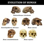 Ewolucja ludzki czaszki Sahelanthropus tchadensis Australopitka africanus Homo Erectus Homo neanderthalensis Homo sa ilustracji