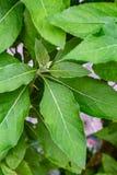 Ewuro oder bitterleaf Strauch in einem Hinterhofgarten stockbild