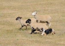 Exécutant les moutons (Bélier d'Ovus) image stock