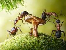 Exécutez, chéri ! formica de voleurs et lasius, contes de fourmi Photo libre de droits