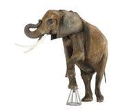 Exécution d'éléphant africain, se levant sur un tabouret, d'isolement photo libre de droits