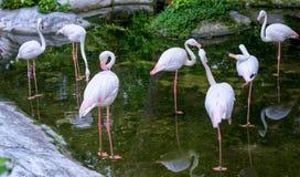 Exécution des flamants de troupeau dans le zoo Image stock