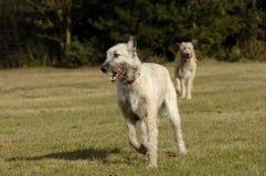 Exécution irlandaise de chiens de loup Images stock