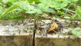 Exército da formiga video estoque