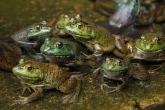 Exército das rãs em uma lagoa imagem de stock