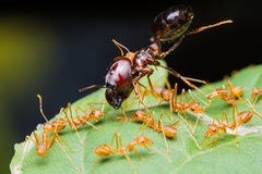 Exército vermelho das formigas Imagem de Stock