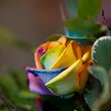 Exótico coloreado se levantó Fotografía de archivo libre de regalías