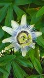 Exótico tropical de la flor de la pasión de la Florida de la playa de ciudad de Panamá imagenes de archivo