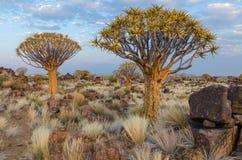 Exóticos bonitos tremem a árvore na paisagem namibiana rochosa e árida, Namíbia, África meridional Imagem de Stock