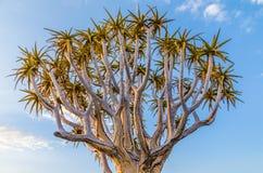 Exóticos bonitos tremem a árvore na paisagem namibiana rochosa e árida, Namíbia, África meridional Fotografia de Stock